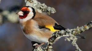 Steglits (Carduelis Carduelis) - P2-fågeln | Sveriges Radio